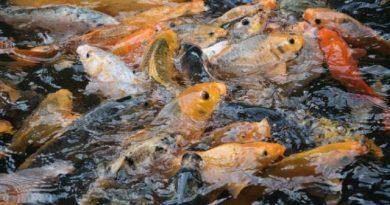 budidaya ikan mas 390x205 - Status Hukum Ikan Budidaya Yang Lepas Akibat Banjir