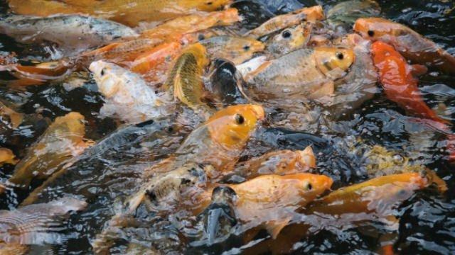 budidaya ikan mas - Status Hukum Ikan Budidaya Yang Lepas Akibat Banjir